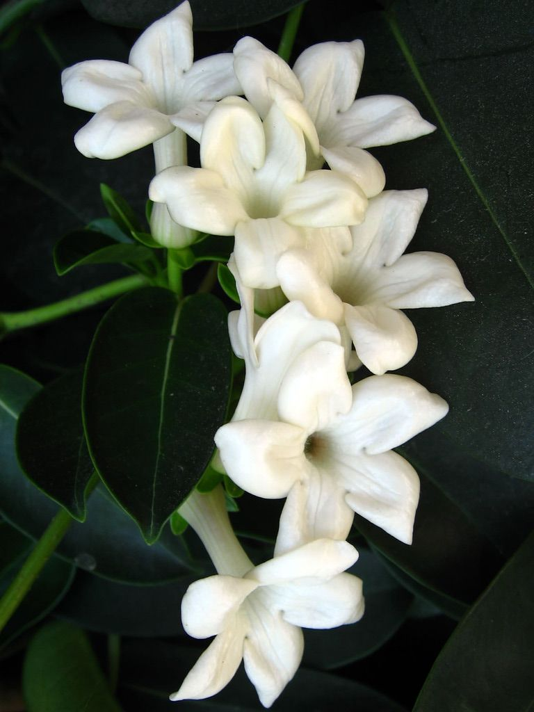 Jasmine flowers one of my favourite flowers they smell amazing jasmine flowers one of my favourite flowers they smell amazing look beautiful i have to get these incorporated into the my back tattoo izmirmasajfo