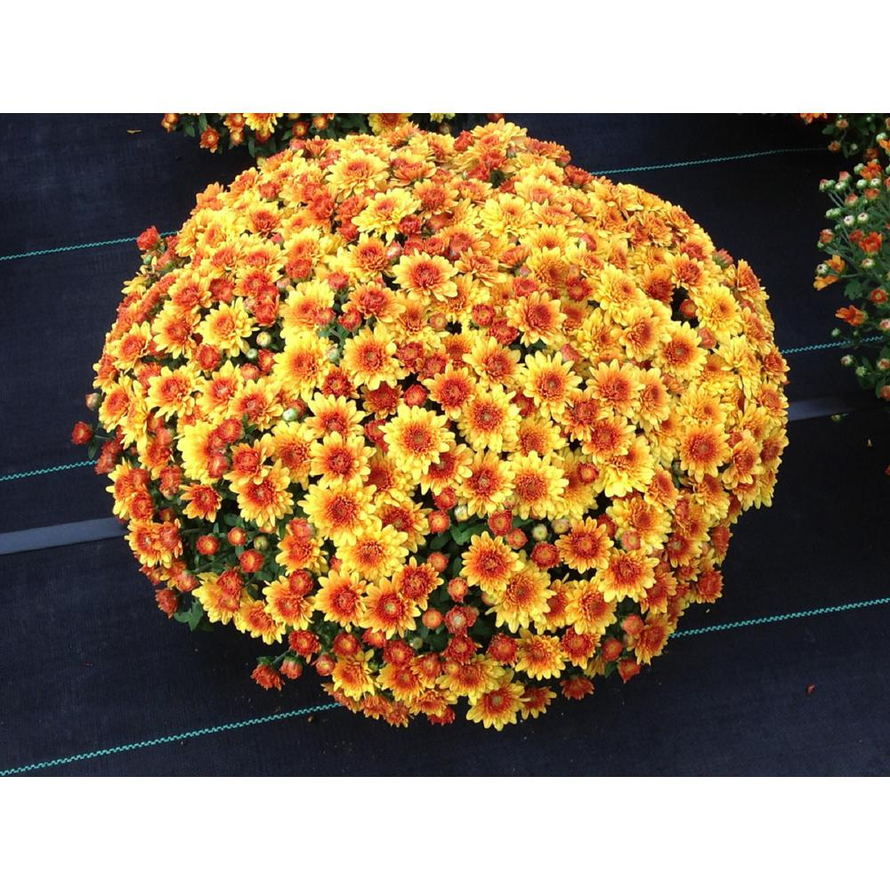 National Plant Network 8 In Orange Chrysanthemum Plant With Orange Blooms Hd7527 The Home Depot In 2020 Chrysanthemum Plant Sun Loving Plants Plants