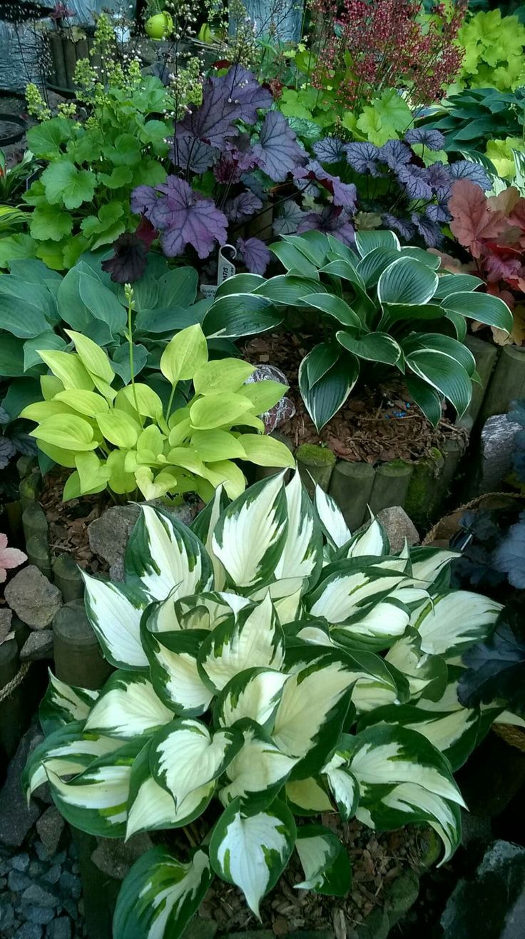Great Pics hosta garden ideas Popular Food items garden was once considered as a hobby normally restricted to the ageing in addition to state bumpki...  #garden #Great #hosta