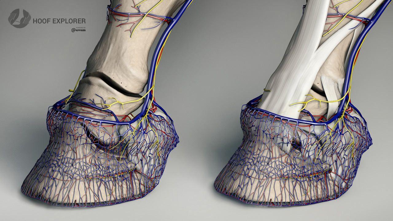 Horse Hoof Antomy Vascular Systems in 3D.