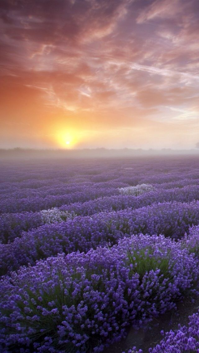 Pin by iLikewallpaper-iOS Wallpaper on iPhone 5~SE Wallpapers | Nature, Lavender fields, Lavender