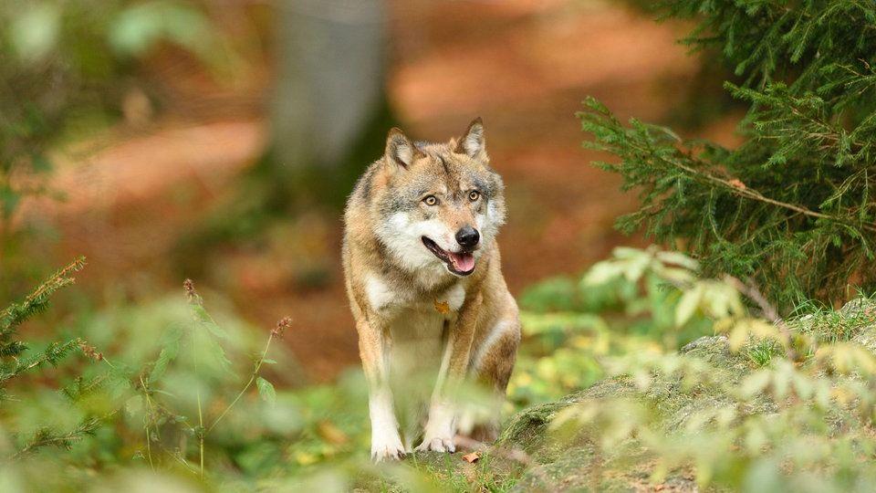 Archivbild: Ein Wolf läuft durch einen Wald   Bildquelle: mauritius images / David & Micha Sheldon
