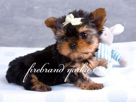 Our Precious Yorkie Babies Firebrand Yorkies Yorkie Puppies