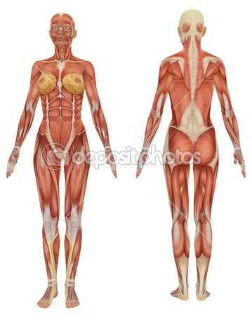 Female Muscular Anatomy Front And Rear View  Art Reference Bones