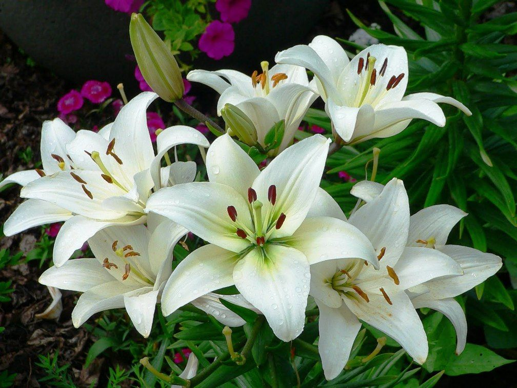 Download 900 Wallpaper Bunga Lily