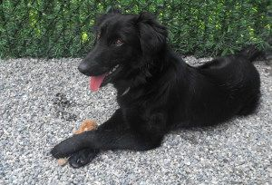 Adopt Callie on | dawgs | Retriever dog, Flat coated
