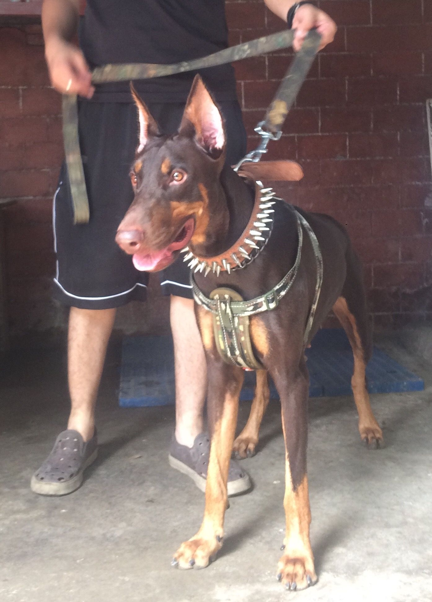 Bruno The Coolest Guard Dog Doberman With Images Guard Dogs