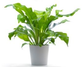 Nest Fern - Asplenium nidus - Pictures, Care:  Keep soil evenly moist. Water the potting mix, not the center of the rosette, otherwise it can easily rot. Water less in winter. Yellow fronds are often a sign of overwatering.