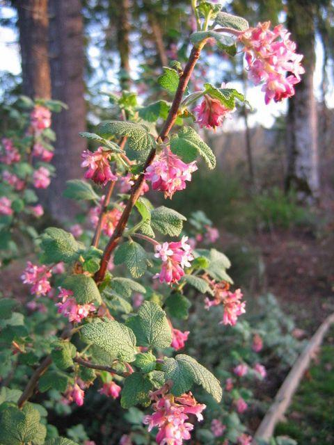 5 hardy shrubs deliver winter surprises: OSU expert's fragrant picks (photos) | OregonLive.com