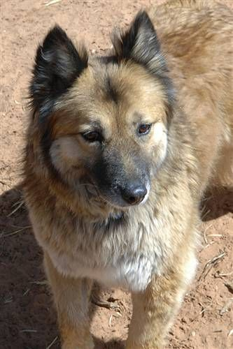 Meet Rumba, a Petfinder adoptable Chow Chow Dog | Kanab, UT | *Sanctuary visit required*Life in the Mojave Desert wasn't a lot of fun for Rumba and her friends....