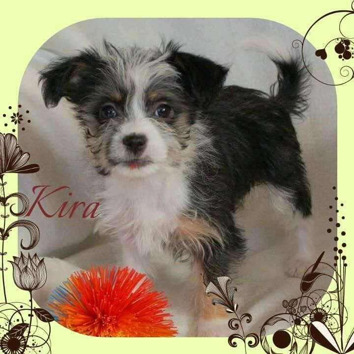 Hund Welpe Yorkshire Terrier Mix Mischling Hundin 3 Monate