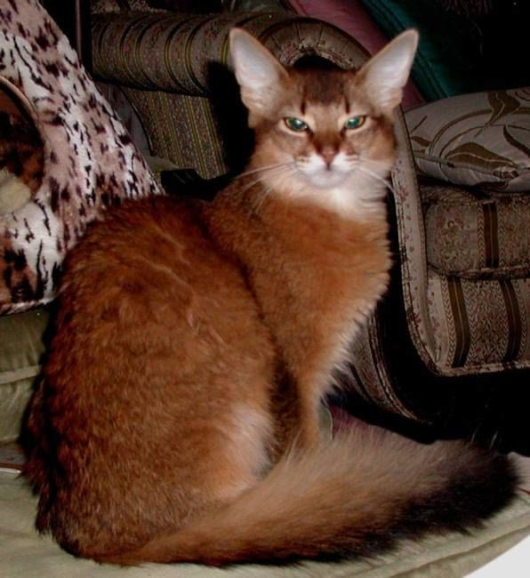 Cat Breeds A To Z World Is Beautiful Abyssinian Cats Cat Breeds