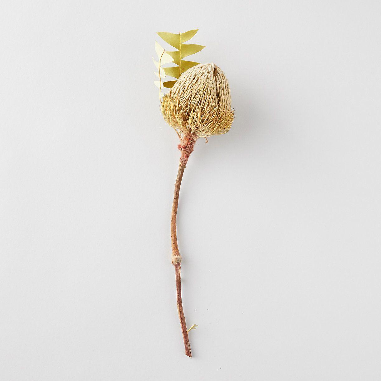 Dried Banksia Stem Australian Flowers Color Pop Planting Flowers
