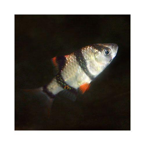 Tiger Barb Puntius Tetrazona That Fish Place Tetra Fish Community Tanks Fish Pet