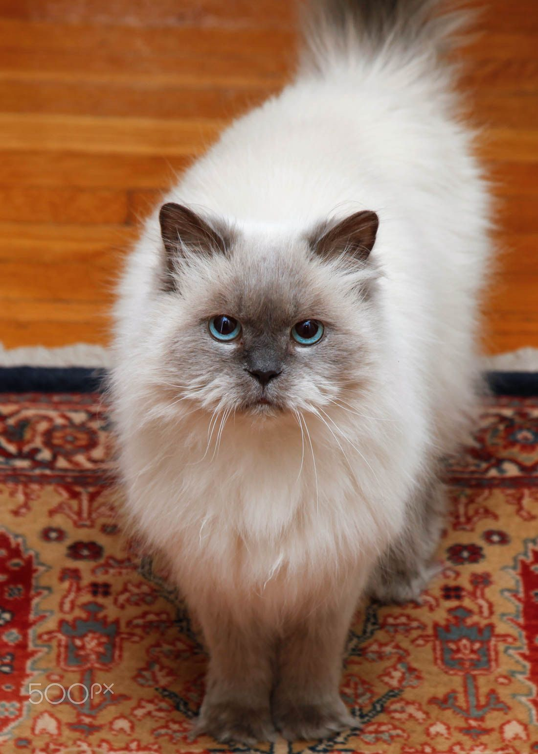 Pin by Alex Brownstein oncat on Persian..RUG. Cat