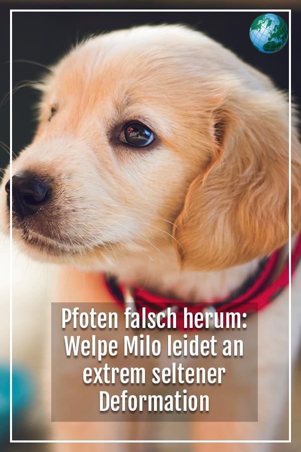 Pfoten Falsch Herum Welpe Milo Leidet An Extrem Seltener Deformation Video Welpen Coole Hundebetten Pfoten