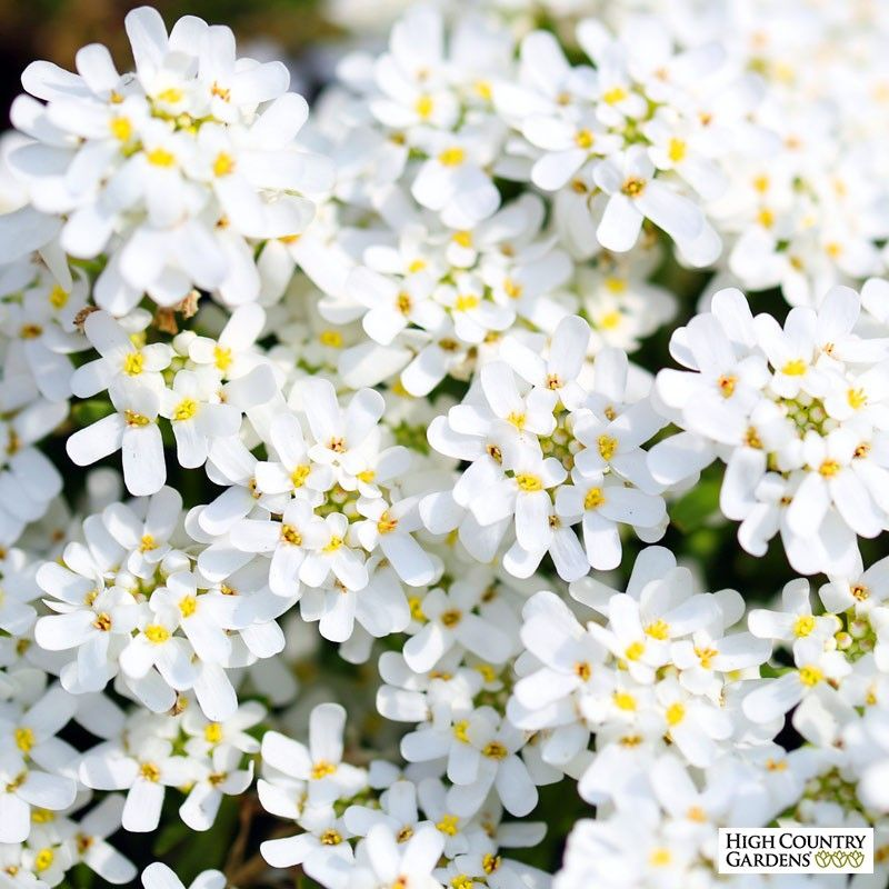 Purity Dwarf Candytuft Iberis Sempervirens Unique Plants Evergreen Groundcover