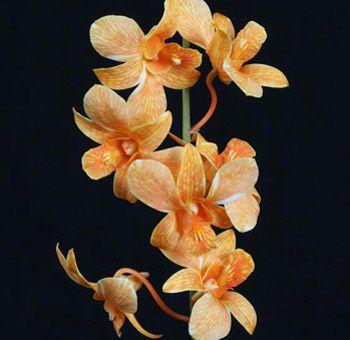 Orange White Dendrobiums Bulk Orange White Dendrobiums At Wholesale Prices Dendrobium Orchids White Dendrobium Orchids Orchids