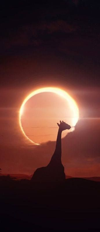 giraffe silhouetted in Eclipse, South Africa ✿⊱╮