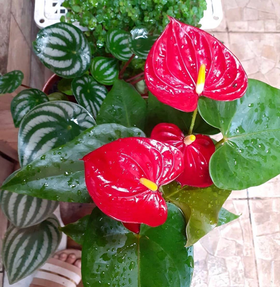 Anthurium For Sale In 2020 Bulk Flowers Online Anthurium Flower Wholesale Flowers