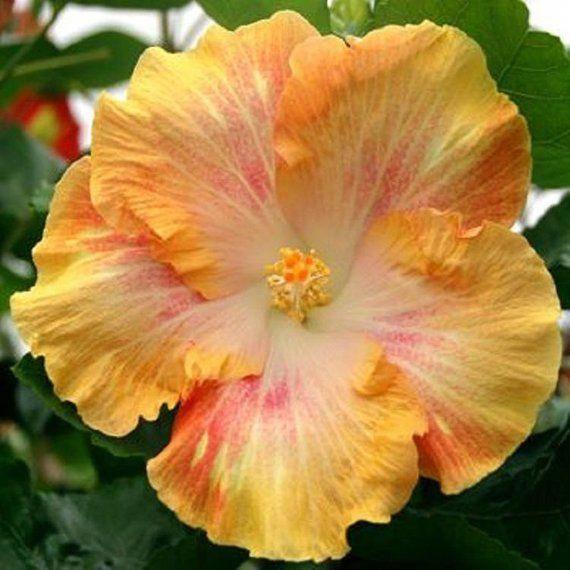 Parts Of A Hibiscus Flower Diagram Hibiscus Flowers Hibiscus