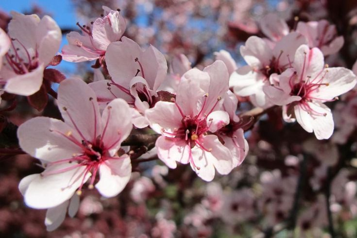 For A Shrub With Purple Leaves Try The Purple Leaf Sand Cherry Purple Leaf Sand Cherry Red Shrubs Fragrant Plant