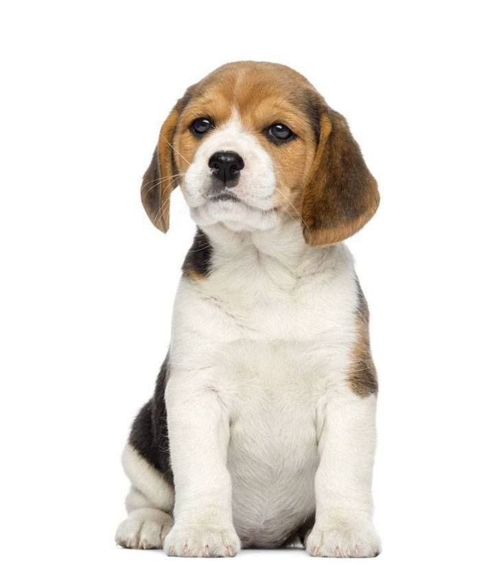 Beagle Names Perfect For Your Male Or Female Cutie (With