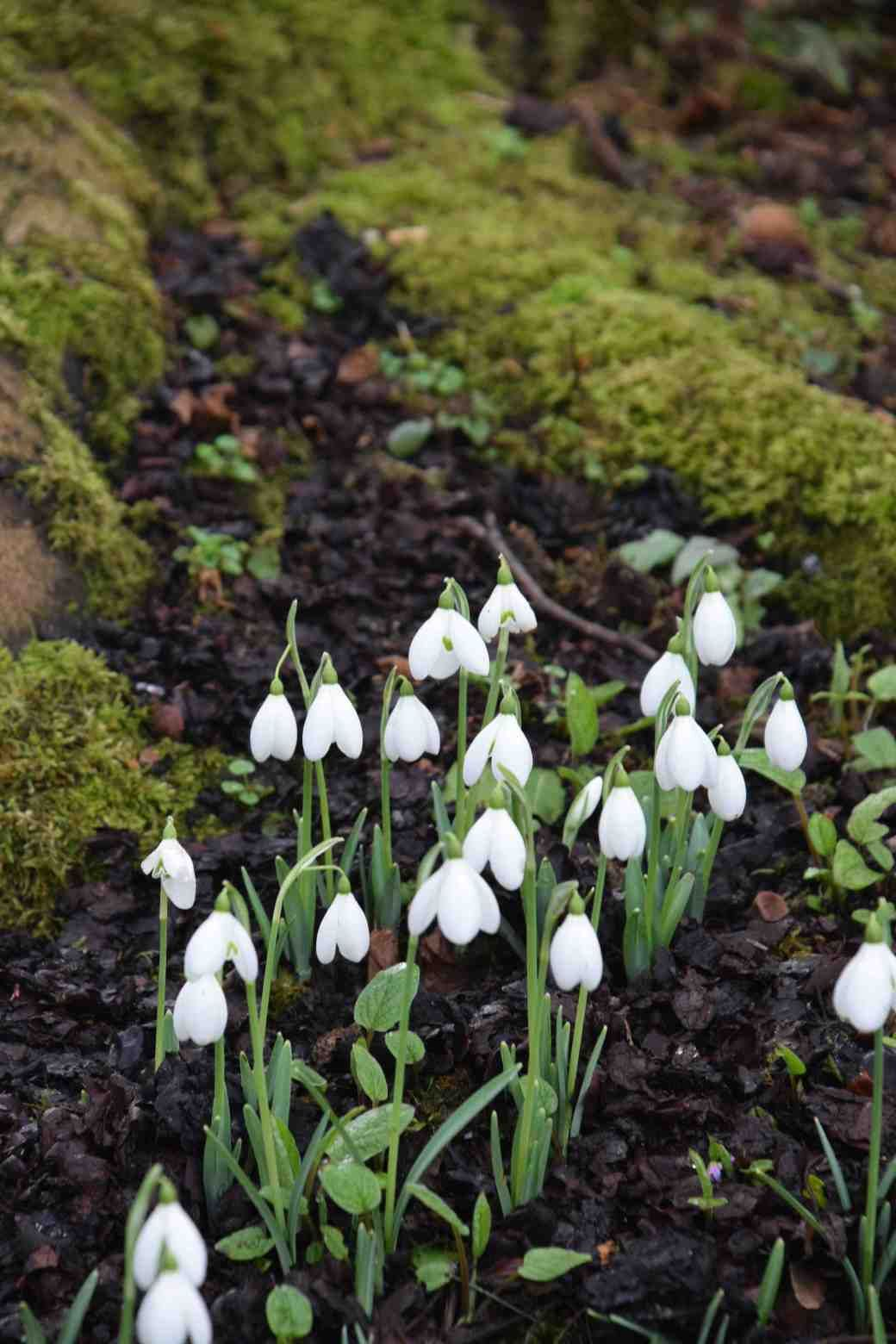 Galanthus Lerinda Was Planted Extensively At Altamomt And Is A Large Showy Snowdrop It Was Selected In Bulbous Plants Gorgeous Gardens Gardens Of The World