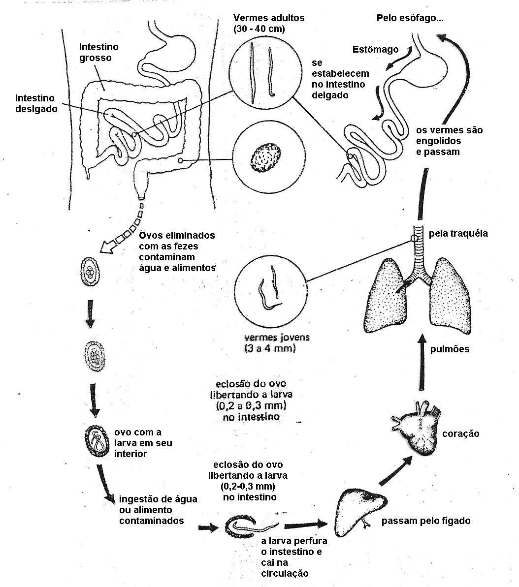 Resultado De Imagem Para Ascaris Lumbricoides Ciclo