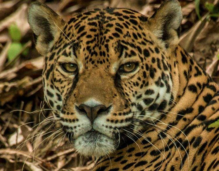 Jaguar Cat Jaguar Guerrero Bskud Com Faces Jaguar Behance Jaguar Jungles Anime Jaguar Wild Pictures Jaguar Deadly Animals Wild Cats