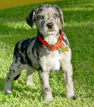 Pin By Craftyjennifer On Dannifer Future Pets Catahoula Leopard