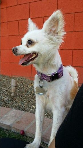 Candy - Long haired Chihuahua/ Papillon mix   For `Ñaña   Pinterest
