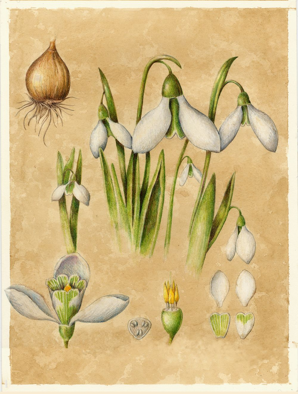 Snowdrop From The Collection Of Botanical Illustrations Of Flowers