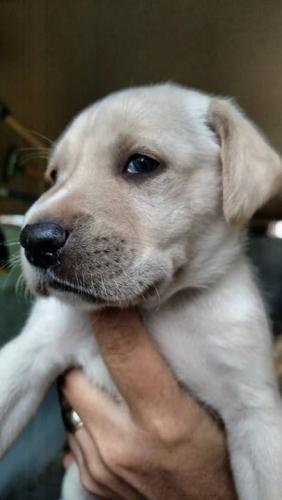 Labrador Retriever Dog For Adoption In Freeport Fl Adn 560139 On