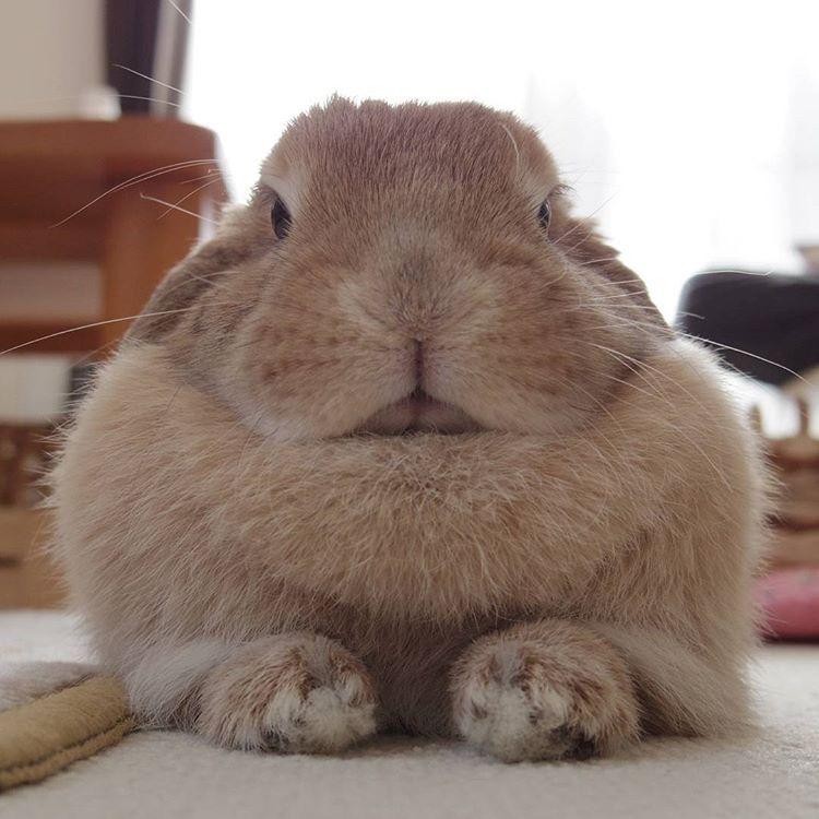Rie Kさんはinstagramを利用しています 久し振りの投稿になってしまった 最近ようやく眠れるようになりました ご心配おかけしましたm M 群馬は大雪警報出てるけど大丈夫かな うさぎ ウサギ ホーランドロップ ロップイヤー ふわもこ部 たれ耳