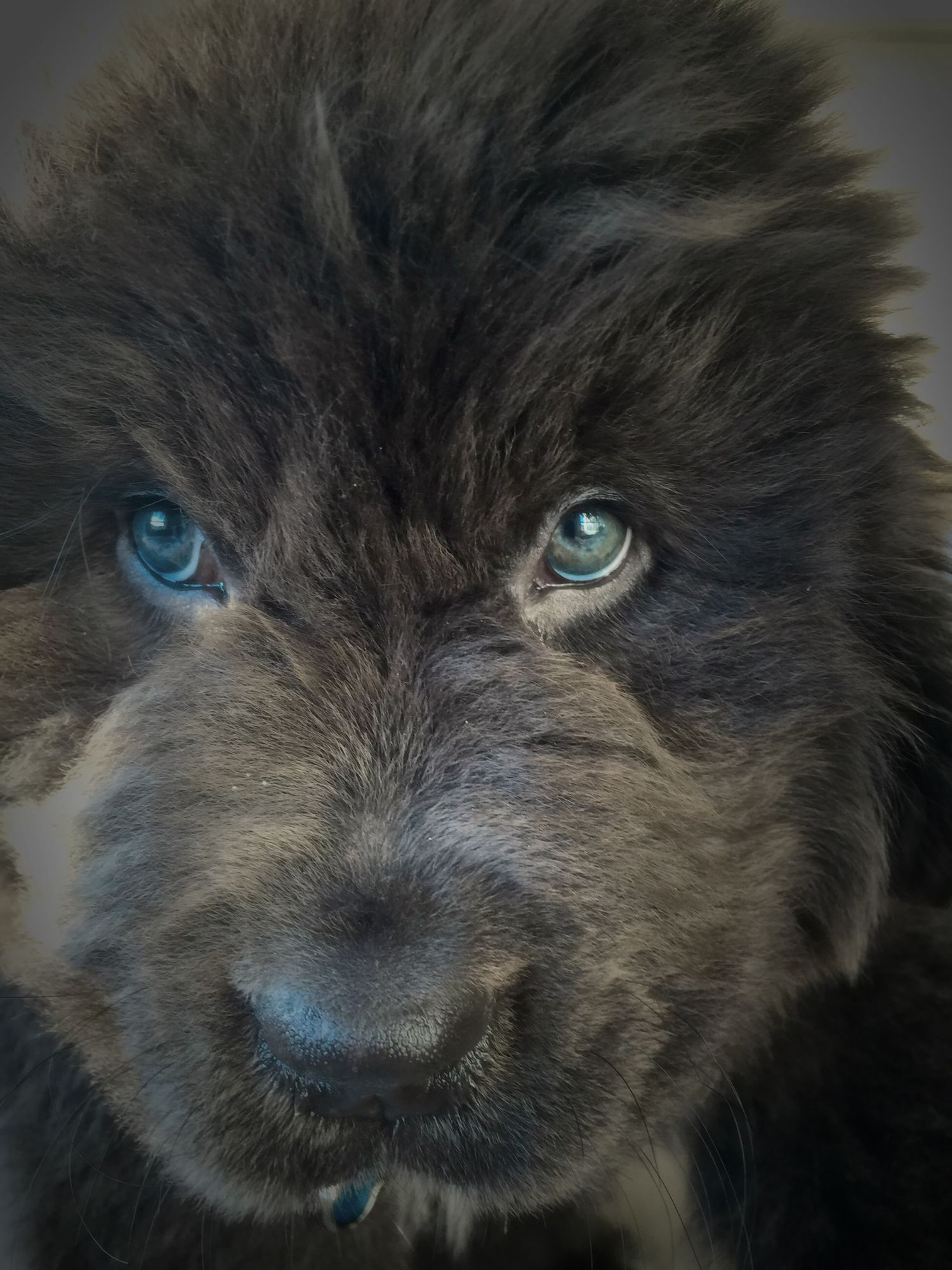 35 very beautiful newfoundland dog pictures - 9 1 2 Wks Old Gray Newfoundland Puppy Those Blue Green Eyes