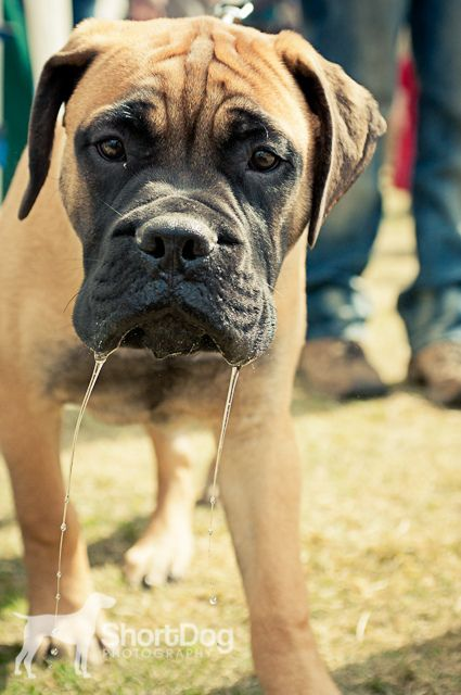 Interrupted Bull Mastiff Dogs Mastiff Dogs