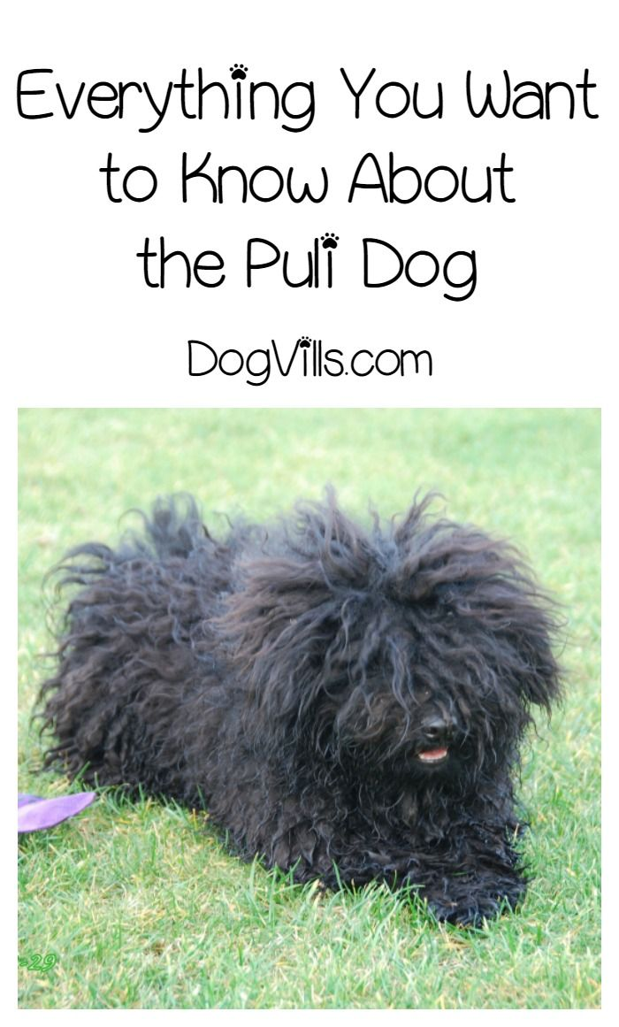 Thinking About Getting A Puli They Make Great Dogs But Are Hypoallergenic Dog Breeds Find Out The Answer More This Breed