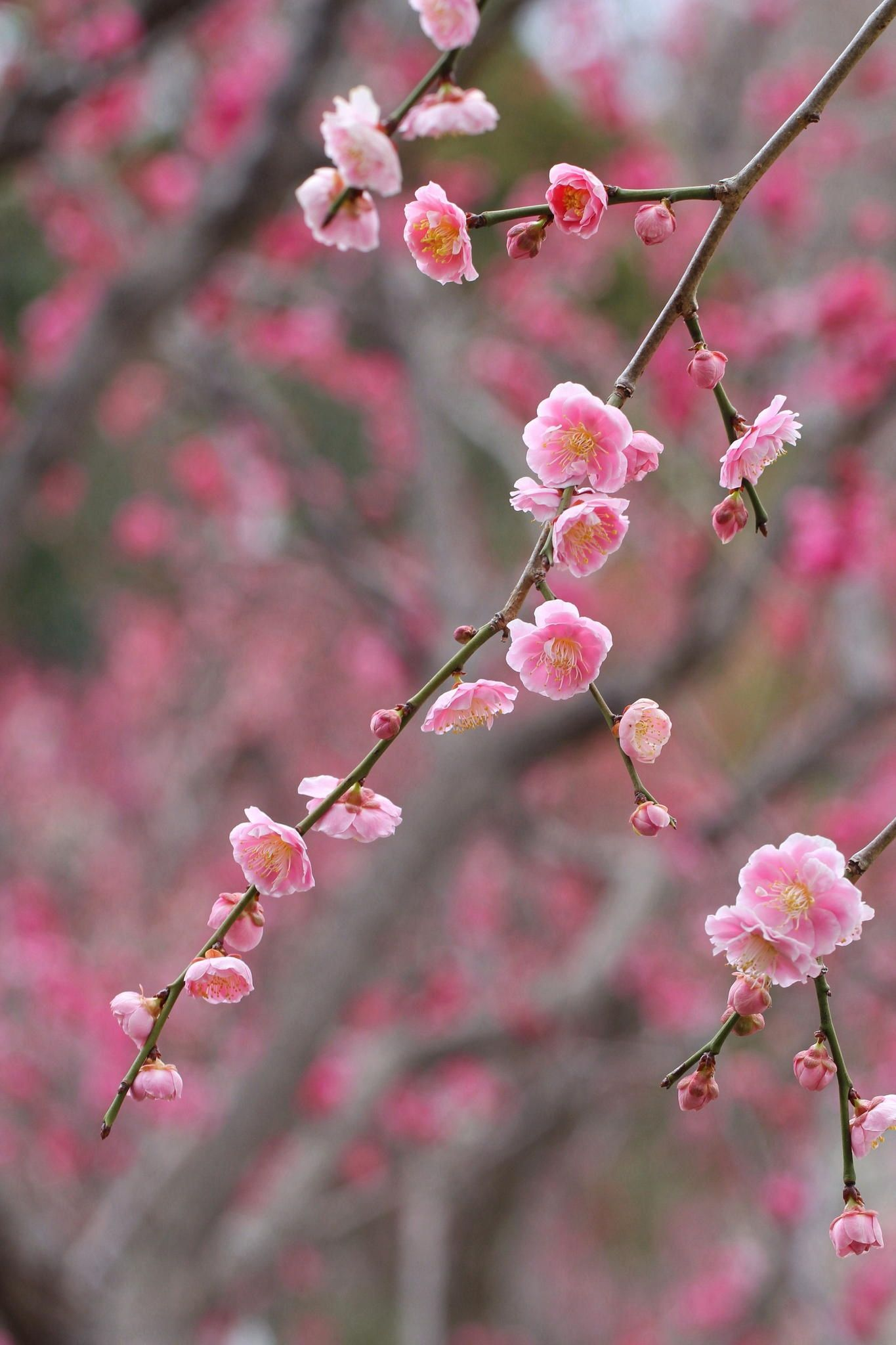 Weeping Japanese apricot -