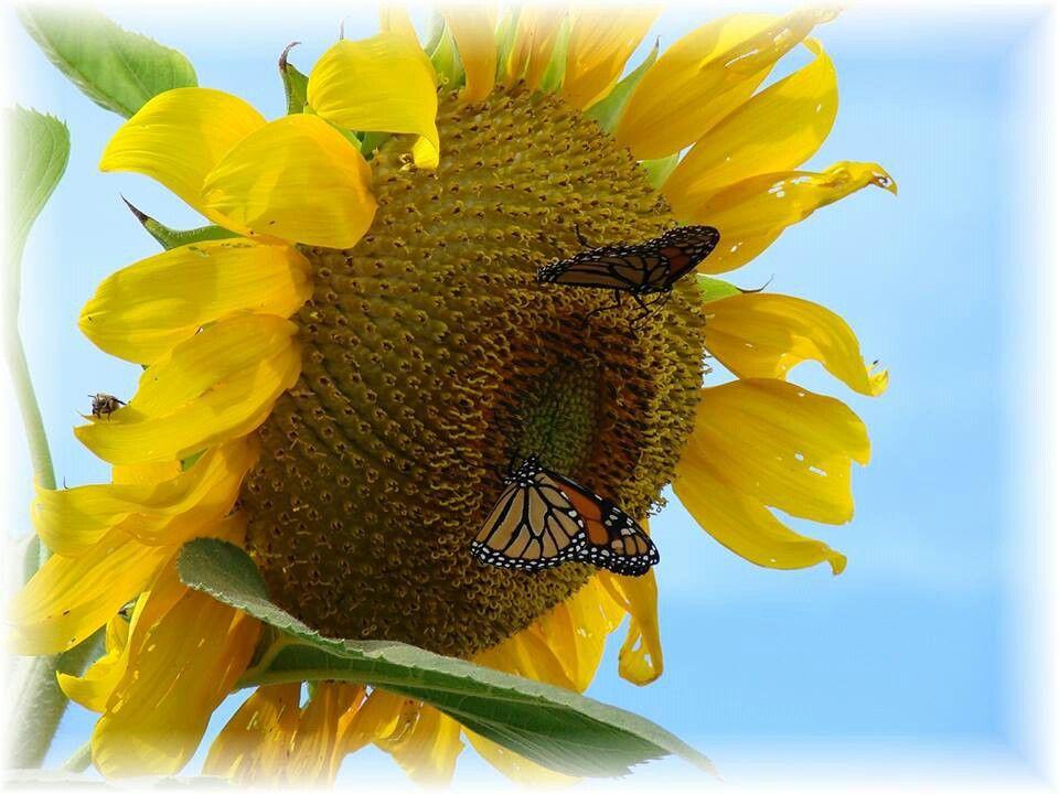 Sunflower with butterflies Monarch butterfly, Sunflower