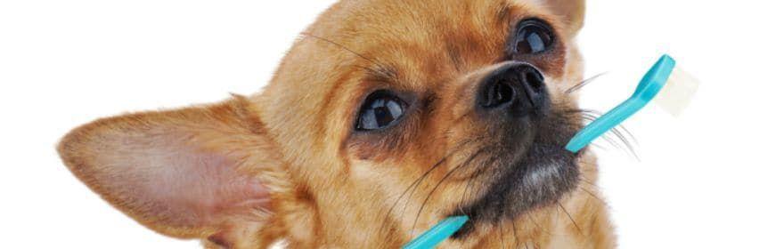 Chihuahua Teeth How To Keep Those Pearly Whites Healthy