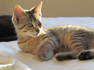 Adopt Bb On Petfinder Tabby Cat Tabby Brown Brown Cat