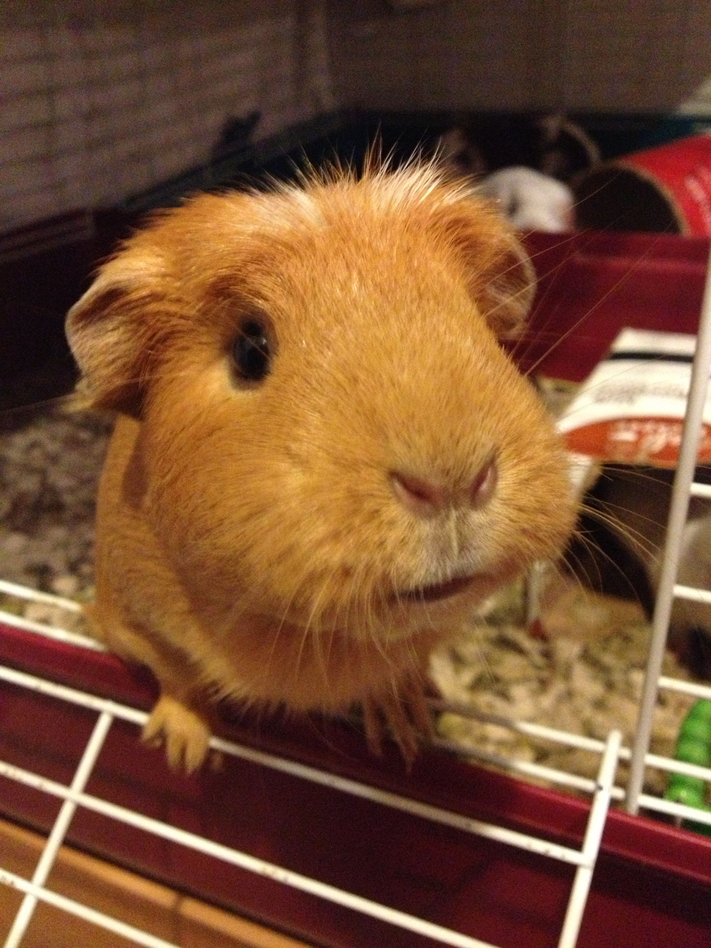 Hippo the Guinea Pig!...........OMG if I get another someday, I may have to name it hippo!