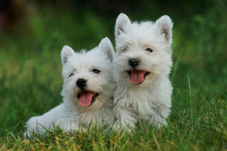 West Highland Terrier Westie Puppies Terrier Dog Breeds Westie Puppies For Sale