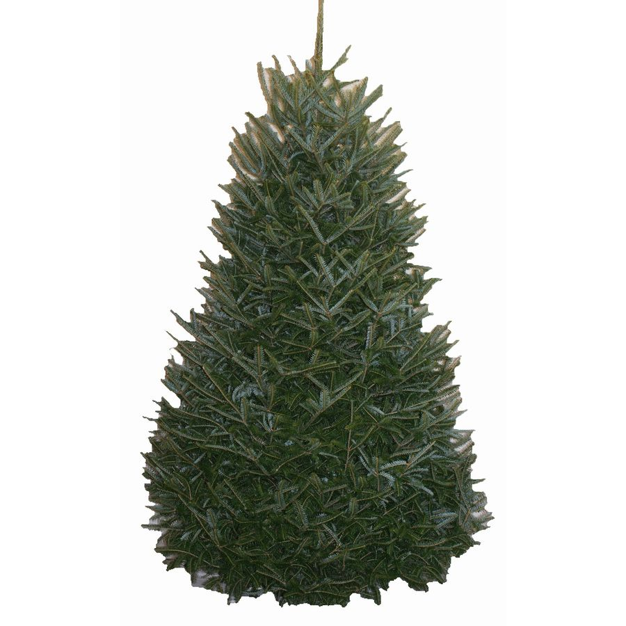 Lowes 10 12 Ft Fraser Fir Real Christmas Tree 94535 In 2020 Fraser Fir Christmas Tree Fir Christmas Tree Fraser Fir