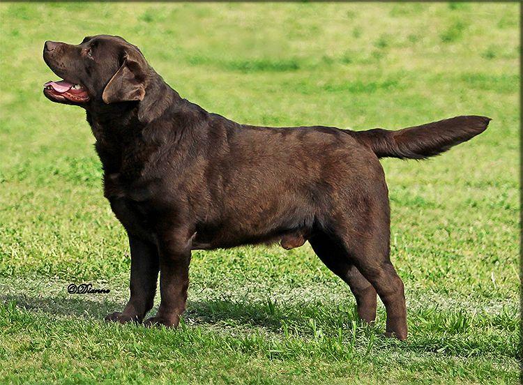 Rycroft S Tahoe Joe In 2020 Stud Dog Dogs Beautiful Puppy