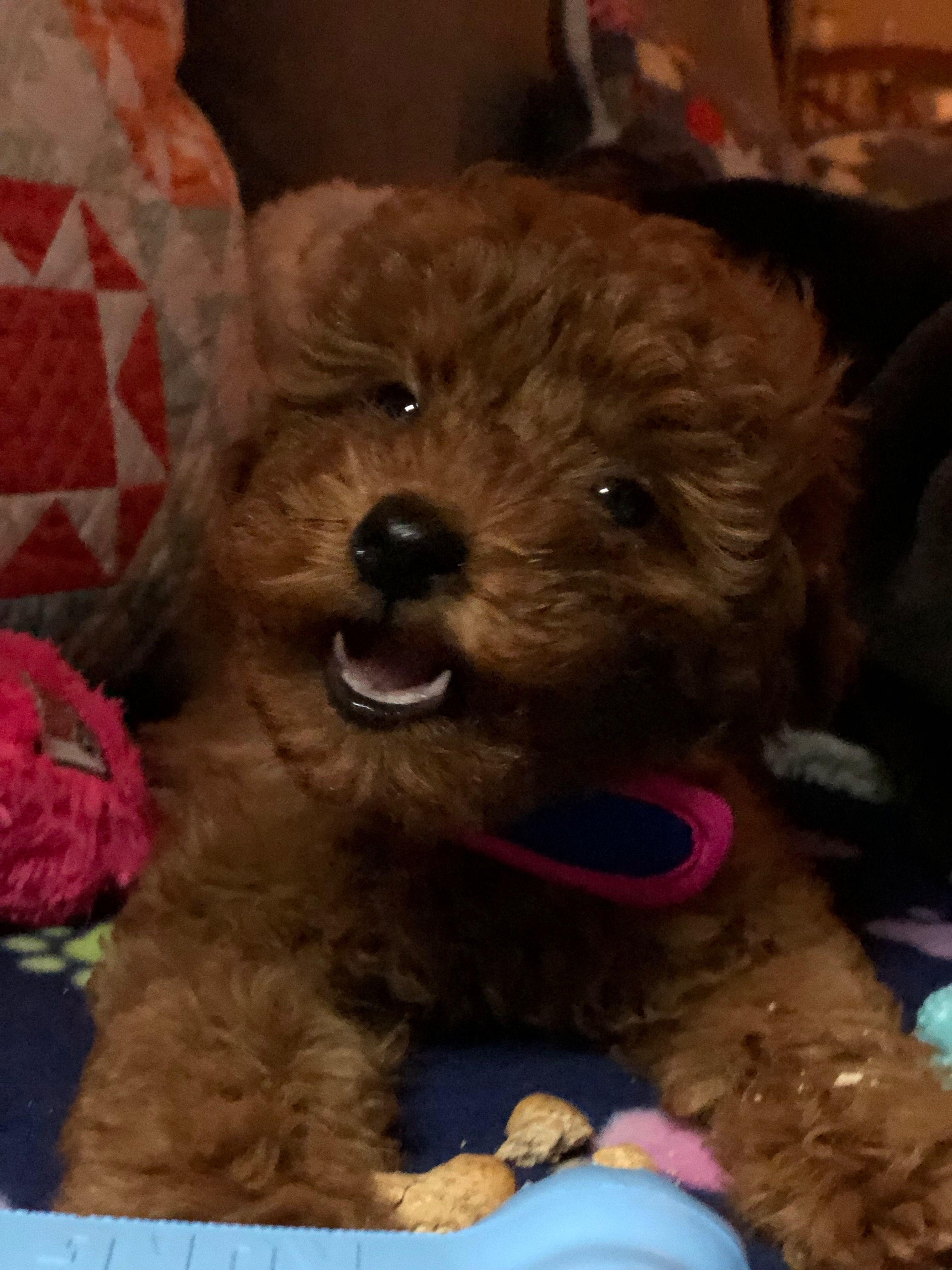 Smile Toy Poodle Teddy Bear Poodle