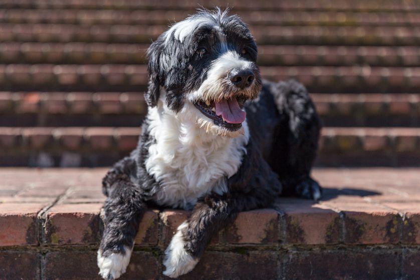 16 Dog Breeds That Don't Shed Dog breeds, Spaniel breeds