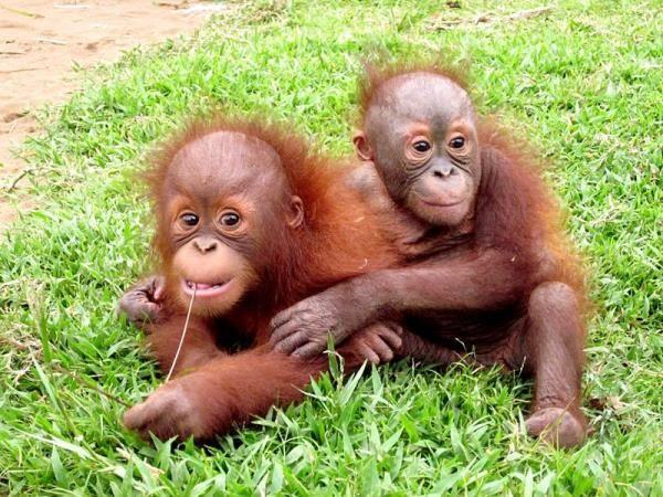 Orangutan Conservation In Indonesia Primates Orangutan