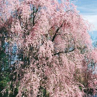 Weeping Cherry The Cascading Drooping Branches Create A Gentle Sway In The Breeze For A Soothing Aff Weeping Cherry Tree Flowering Trees Flowering Cherry Tree